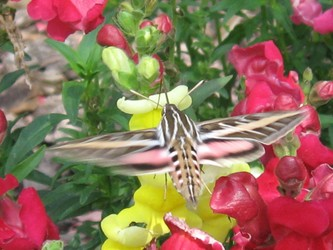 Hyles lineata, white-lined sphinx moth