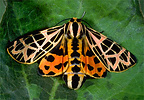 red and orange tiger moth