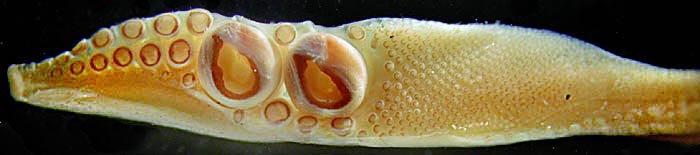 Oral view of tentacular club of Nototeuthis dimegacotyla