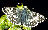 Checkered skipper butterfly
