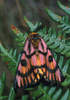 Elegant sheep moth