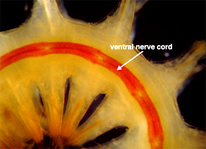 Ventral view of a scaleworm showing its double nerve cord